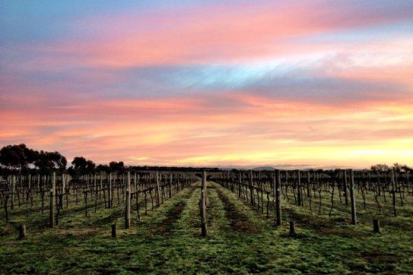 Austins Vineyard