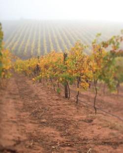 Autumn-vineyard